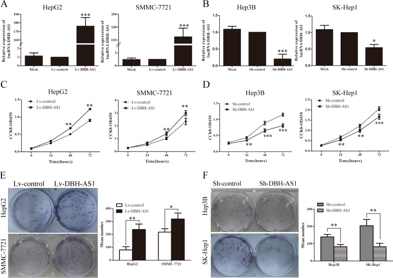 LncRNA DBH-AS1 promotes HCC cell proliferation in vitro A. HepG2 and SMMC-7721 cells were infected with lentivirus carrying the DBH-AS1 gene, and HepG2 and SMMC-7721 cells stably overexpressing DBH-AS1 were screened by qRT-PCR. B. Short hairpin RNA against DBH-AS1 stably decreased the expression of DBH-AS1 in sh-DBH-AS1 Hep3B and SK-Hep1 cells compared with sh-control cells by qRT-PCR. C. After overexpression of DBH-AS1 in HepG2 and SMMC-7721 cells, the cell viability was assessed by CCK-8 assays daily for 3 days. D. Cell viability was assessed by CCK-8 assays daily for 3 days in Hep3B and SK-Hep1 cells with silenced DBH-AS1 expression. E. Colony formation assays were performed on HepG2 and SMMC-7721 cells stably overexpressing DBH-AS1 for 2 weeks. F. In vitro proliferative ability of Hep3B and SK-Hep1 cells was significantly decreased in DBH-AS1-suppressed cells compared to sh-control cells by colony formation assays. Data are presented as mean ± SD for at least three independent experiments, * P