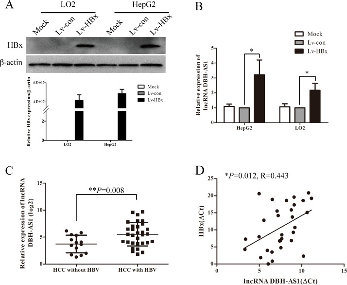 HBx induces the expression of lncRNA DBH-AS1 A. Ectopic re-expression of HBx was detected in Lv-HBx-transfected HepG2 and LO2 cells by qRT-PCR and western blot. β-actin was used as a loading control. B. The relative expression of lncRNA DBH-AS1 in HepG2 and LO2 cells re-expressing HBx compared with controls by qRT-PCR. Data are shown as the mean±SD based on at least three independent experiments. C. Comparison of levels of DBH-AS1 in HCC patients with and without HBV infection (independent t test). D. The correlation between DBH-AS1 transcript level and HBx mRNA level in 31 HCC tissues. The ΔCt values were subjected to Pearson correlation analysis. * P