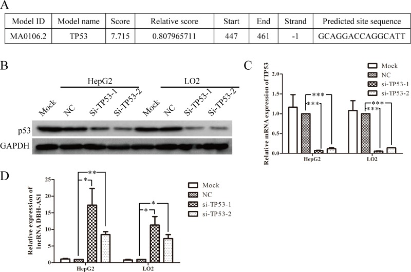 LncRNA DBH-AS1 is inactivated by p53 A. The potential p53-binding site upstream of DBH-AS1 predicted by JASPAR database. B. Western blot analysis showed the reduced levels of p53 protein in HepG2 cells and LO2 cells transfected with siRNAs. C. Reduced p53 mRNA expression by siRNAs in HepG2 cells and LO2 cells was shown by <t>qRT-PCR.</t> D. Expression of DBH-AS1 transcripts was quantified by qRT-PCR. Data shown are the mean ± SD of three independent experiments. * P
