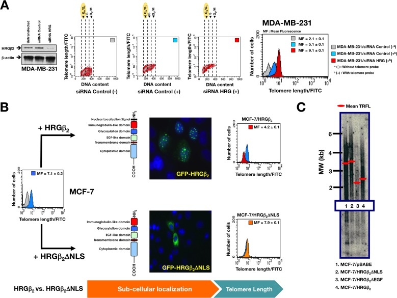 """Nuclear HRGβ2 negatively regulates telomere length in breast cancer cells A. Left. Representative immunoblot showing shRNA-mediated knockdown of HRGβ 2 in MDA-MB-231 cells. Right. Flow-FISH analysis of cells in the G 0 /G 1 phase was performed using a telomere-specific probe as described in the""""Materials and methods"""" section. (−) and (+) indicate Flow-FISH analysis in the absence or presence, respectively, of the telomeric probe. Bivariate cytograms indicate the telomere length in each sub-compartment of the cell cycle. The histograms show the telomere length within the G 0 /G 1 cellsubpopulation, where the cells have only one copy of the genome. Telomere length is expressed in relative fluorescence units (mean ± SD) of four independent experiments. B. MCF-7 cells were transiently transfected with GFP-HRGβ 2 or GFP-HRGβ 2 ΔNLS, and telomere length was analyzed by Flow-FISH as described above (n = 3). C. MCF-7 cells were stably transduced with either pBABE retroviral vector alone or pBABE containing cDNA for HRGβ 2 ΔNLS (a structural mutant of HRGβ 2 that lacks the putative NLS), HRGβ 2 ΔEGF (a structural mutant of HRGβ 2 that cannot bind HER3 or HER4 receptors), or for full-length HRGβ 2 as specified. Telomere length was assessed by Southern blot analysis of Hinf I/ Rsa I–digestedgenomic <t>DNA</t> as described in the """"Materials and methods"""" section. Molecular weight (MW) markers (black bars, in kb) and mean terminal restriction fragment lengths (TRFL; red bars) are indicated."""