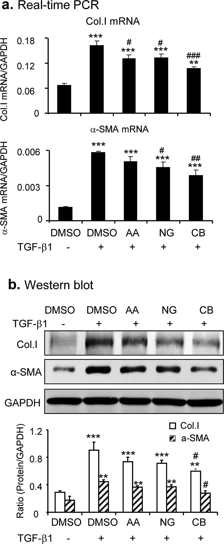 Combination of AA and NG produces a better protective effect on TGF-β1-induced fibrotic response in vitro a. Effect of AA, NG, or their combination on TGF-β1 (2ng/ml)-induced mRNA expression of collagen I and α-SMA detected by real-time PCR. b. Effect of AA, NG, or their combination on TGF-β1 (2ng/ml)-induced mRNA expression of collagen I and α-SMA detected by Western blot analysis. Data represent the mean ± SEM for at least 3 independent experiments. ** p