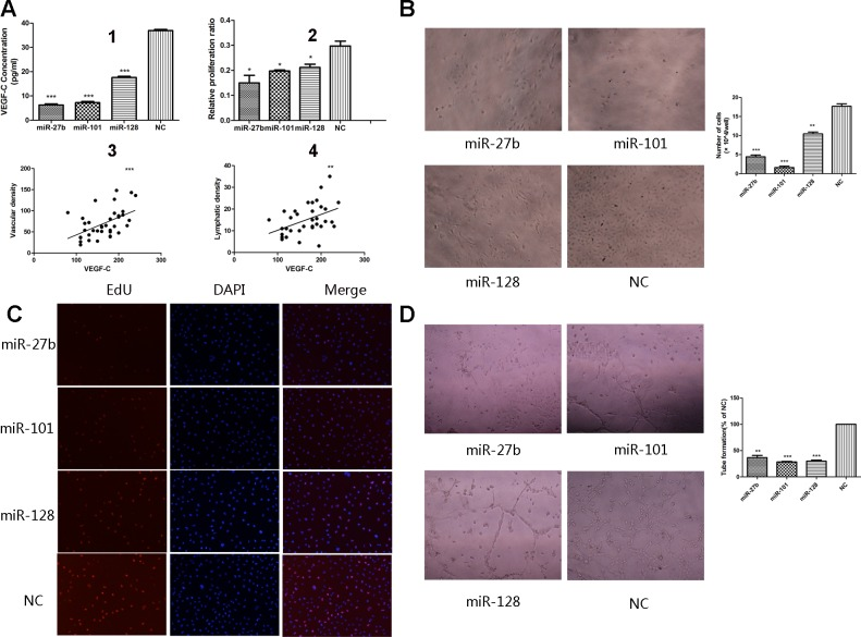 Overexpression of miR-27b, miR-101, or miR-128 attenuated proliferation and tube formation of HUVECs The secretion level of VEGF-C significantly decreased in the culture supernatant from the miRNA-transfected cells, compared to the negative control groups, determined by ELISA (A1). The percentages of proliferating cells were quantified by EdU incorporation experiments. Decreased proliferation activity of the miRNAs-transfected groups was observed compared to the negative control groups. (A2). Significantly inverse correlation was found between VEGF-C expression and MVD (A3) or LVD (A4) in human gastric cancers samples. The number of HUVECs decreased by treatment with the medium supernatant from the miRNAs-transfected groups compared to the negative groups B. . Proliferating HUVECs were labeled after conjugated reaction of Apollo dye and EdU (red). Cell nuclei stained with DAPI (blue) represents a total population of cells. The images are representative of the results obtained C. , with the quantifiable results shown in Figure 5A2 . Tube formation of endothelial cells was dramatically inhibited in the transfected groups compared to the negative groups D. . * P