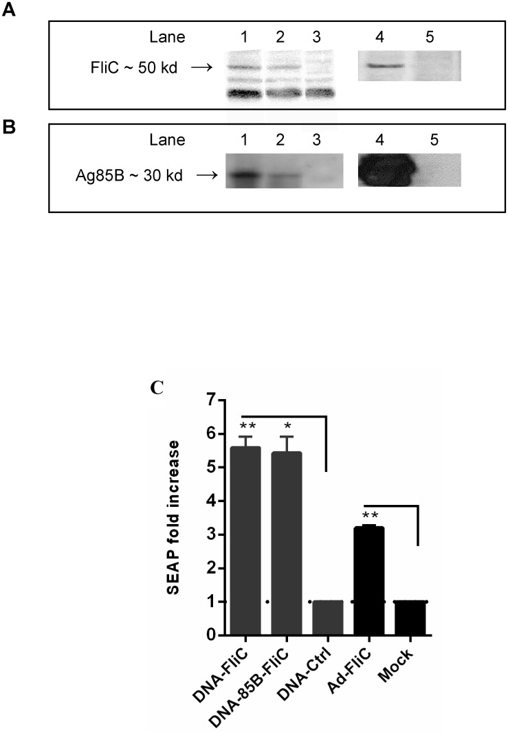 DNA and adenovirus vaccine vectors encoding Ag85B and expression of biologically-active flagellin. (A) Supernatants from DNA-transfected or Ad-infected 293A cells were tested for expression of flagellin by Western blot, lane 1 DNA-FliC, lane 2 DNA-85B-FliC, lane 3 DNA-control, lane 4 Ad-FliC, lane 5 mock. (B) Expression of Ag85B by DNA and Ad vectors was also confirmed by Western blot, lane 1 DNA-85B, 2 DNA-85B-FliC, 3 DNA-FliC, 4 Ad-85B, 5 mock. (C) Biological activity of flagellin was tested by bioassay using THP1-Blue-CD14 cells. SEAP levels were read at 620 nm. Data shown are mean of fold-increase in SEAP ± SEM over respective controls (dotted line), which are supernatants of cells transfected with empty DNA vector (for DNA vaccines), or of mock infected cells (for Ad vaccine) (* p