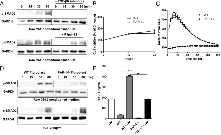 PAR-1 mediates TGF-β activation and production A. Representative Western blot analysis of SMAD2 phosphorylation in NIH3T3 cells stimulated for 0, 15, 30 and 60 minutes with RAW264.7 CM in the absence or presence of TGFBR inhibitors (10 μM SB-431542 and 10 μM LY-2157299) or P1pal-12 (10 μM). GAPDH served as loading control. B. Cell viability of NIH3T3s lentivirally transduced with a control shRNA construct (WT fibroblasts, down-pointing triangle) or a PAR-1 shRNA construct (PAR-1−/− fibroblasts, up-pointing triangle) as evaluated by MTT assays after 12 or 24 hours of incubation (Mean+/−SEM of an experiment performed two times in octoplo). C. Intracellular Ca 2+ fluxes in WT fibroblasts (circle) and PAR-1−/− fibroblasts (square) after stimulation with thrombin (1 U/ml). Ca 2+ fluxes are expressed as arbitrary units of fluorescent intensity after background correction. Shown is a representative experiment of three independent experiments. D. Western blot analysis of SMAD2 phosphorylation in WT fibroblasts or PAR-1−/− fibroblasts stimulated for 0, 15, 30 and 60 minutes with RAW264.7 CM or recombinant TGF-β (1 ng/ml). GAPDH served as loading control. E. Total TGF-β production of RAW264.7 cells and WT or PAR-1−/− fibroblasts stimulated without or with RAW264.7 conditioned medium (CM) after 24 hours (mean ± SEM, n = 6; *** P