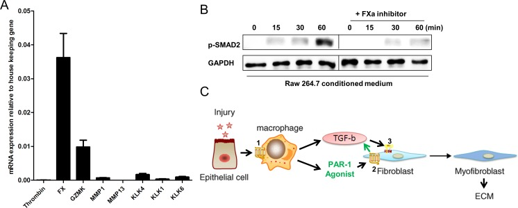 PAR-1-induced TGF-β activation on fibroblasts is mediated by FX A. Thrombin (FII), FX, Granzyme K (GZMK), MMP1, MMP13, KLK1, KLK4 and KLK6 mRNA levels in RAW264.7 cells as assessed by real-time reverse transcriptase PCR. Data are expressed relative to two housekeeping genes, GAPDH and TBP. Shown is the mean ± SEM, of an experiment performed three times. B. Western blot analysis of SMAD2 phosphorylation in NIH3T3 cells stimulated for 0, 15, 30 and 60 minutes with RAW264.7 CM in the absence or presence of the FXa inhibitor antistasin (40 μM). GAPDH served as loading control. C. Proposed mechanism by which macrophages promote lung fibrosis in a PAR-1 dependent manner. During lung injury, epithelial cells release mediators that potentiate PAR-1 dependent macrophage migration towards the injured site (1). The recruited macrophages subsequently secrete TGF-β and FX. The PAR-1 agonist (FX) than activates PAR-1 on fibroblasts (2) leading to TGF-β production and activation. Finally, TGF-β induces TGFBR signaling (3) on fibroblast thereby inducing their migration, differentiation and ECM deposition.