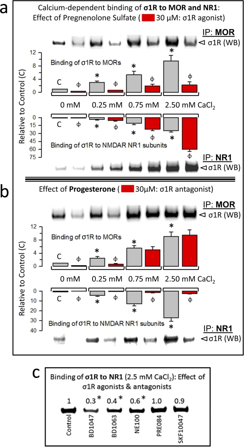 Calcium-dependent binding of σ1Rs to MORs and NR1 subunits: Influence of σ1R regulation a. The σ1R agonist pregnenolone sulfate stabilizes the σ1R-NR1 interaction while diminishing σ1R binding to MORs . The recombinant MOR, NR1 C0-C1-C2 and σ1R were used at 100 nM. The assay was performed in the presence of increasing amounts of calcium chloride (0, 0.25, 0.75, 2.5 mM). Bait proteins (GST-NR1 C0-C1-C2 and GST-MOR) were immobilized by covalent attachment to NHS-activated Sepharose. Prey proteins alone did not bind either to the NHS-Sepharose or to the recombinant GST (negative controls). The pellets obtained were processed as described to determine σ1Rs in Western blots (see the Methods section). The bars are the mean ± S.E.M of three independent assays. Effect of calcium. For each interaction of σ1R, MOR-σ1R and NR1-σ1R, the effects of increasing calcium availability are shown relative to the data obtained in the absence of calcium control group (C): arbitrary value of 1): *Significant differences, ANOVA (DF = 11), Dunnett multiple comparisons vs control group, p