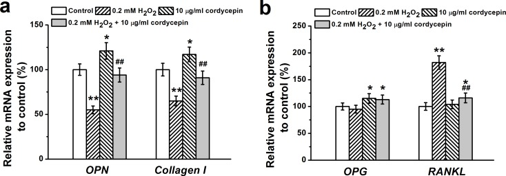 Osteogenic differentiation of human BM-MSCs treated by 0.2 mM H 2 O 2 , 10 μg/mL cordycepin and 0.2 mM H 2 O 2 +10 μg/mL cordycepin co-treatment Relative OPN , Collagen I mRNA expression a. and OPG and RANKL mRNA expression in the experimental groups were characterized by RT-PCR analysis. Gene expression was normalized to GAPDH . Data were shown as mean ± S.E.M. * p