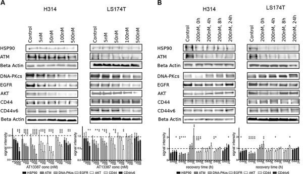 Effect of AT13387 treatment on HSP90 client protein levels (HSP90, ATM, DNA-PKcs, EGFR, AKT, CD44, CD44v6) A. Dose-dependent downregulation of client proteins. H314 cells and LS1474T cells treated with the indicated doses of AT13387 for 24 h. B. Recurrence of protein level after AT13387 treatment. H314 and LS174T cells were treated with 200 nM AT13387 for 24 h. After drug treatment cells were kept in drug-free complete medium for 0, 4, 8 and 24 h. Lysates were harvested and equivalent amounts of protein from each lysate were resolved by SDS-PAGE and immunoblotting with the indicated antibodies. The expression levels of beta actin were used to ensure equal loading. Above: Representative Western blots, Below: Western blot quantification. Protein levels were normalized to beta actin, and were normalized to the level of untreated control (dashed line). One way-ANOVA with Bonferroni post-test was used to calculate statistics: * p