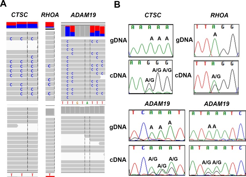 Validation of A-to-G editing by Sanger sequencing A. Integrative Genome view of Ctsc , RhoA and Adam19 is shown. The RNA- and DNA-seq traces are shown in top and bottom panel, respectively. B. Validation of editing sites in Ctsc , RhoA and Adam19 is shown. For Ctsc , three editing sites were validated (chr11:88,055,689, 88,055,690, 88,055,691). For RhoA , we validated one site (chr3:49,397,323). For Adam19 , we validated five sites chr5: (156,905,567, 156,905,566, 156,905, 565 in the left panel and 156,905,561, and 156,905,560) in the right panel. The sites validated by Sanger are shown and the nucleotide changes are labelled. Samples were sequenced using both forward and reverse M13 primers. We show few representative images of each.