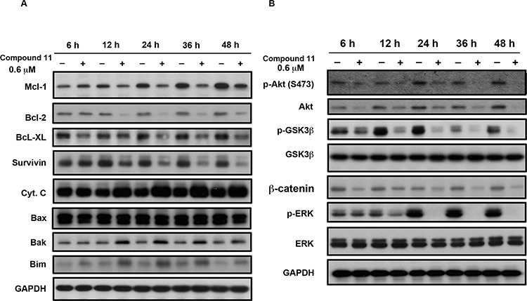 Effects of compound 11 on Bcl-2 family proteins and survival signaling HCT116 cells were exposed to compound 11 (0.6 μM) for the indicated times, and cell lysates were subjected to Western blot analysis using the indicated antibodies against Bcl-2 family proteins A. and members of survival signaling pathways B. GAPDH servered as a loading control.