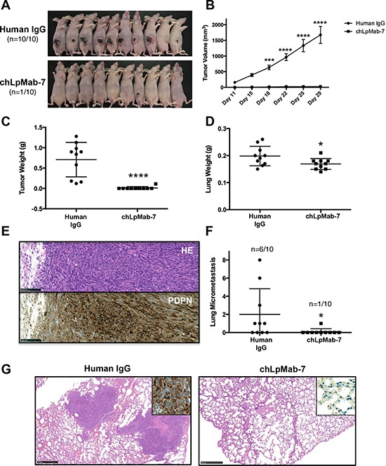 Anti-tumor effect of chLpMab-7 on primary tumor development and spontaneous lung metastasis in nude mice inoculated with hPDPN-expressing cells CHO/hPDPN cells (3 × 10 6 cells/100 μl) were inoculated subcutaneously into BALB/c nude mice. After one day, 100 μg of chLpMab-7 or human IgG antibodies was injected into the peritoneal cavity of mice. The antibodies were injected once per week for three weeks (human IgG group: n = 10; chLpMab-7 group: n = 10). A. Comparison of the tumor size and tumor incidence in nude mice (day 30). B. Primary tumor growth in human IgG- or chLpMab-7-treated mice. *** p