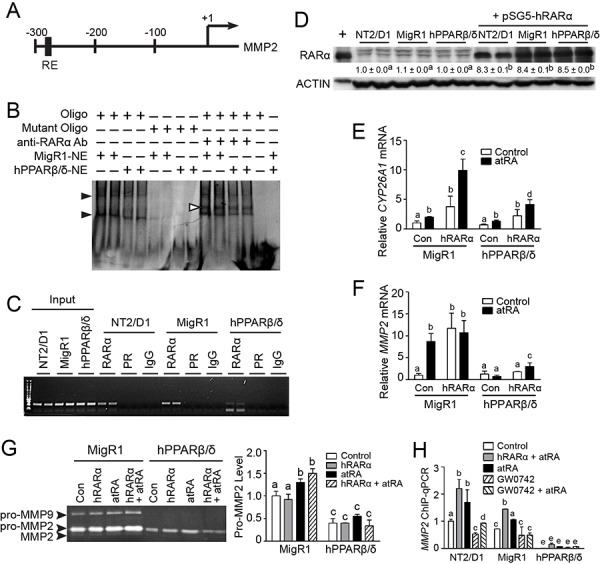 PPARβ/δ suppresses MMP2 activity by interfering with RAR signaling A. A putative RAR RE in the human MMP2 promoter. +1 represented the transcriptional start site. B. Representative EMSA of nuclear extracts from NT2/D1-MigR1 (MigR1) and NT2/D1-hPPARβ/δ (hPPARβ/δ) cells were incubated with either double-stranded oligonucleotides (oligo) encoding the RAR RE MMP2 promoter or mutated oligonucleotides (mutant oligo). Black arrowheads indicated the presence of oligonucleotide-protein complexes. White arrowheads indicated the super shift of oligonucleotide-protein-anti-RAR-antibody complexes. C. Representative photomicrograph of the ChIP assay for RAR occupancy on the MMP2 promoter. D. RARα protein expression in NT2/D1, MigR1 and hPPARβ/δ cells transiently transfected with pSG5-RARα plasmid. E, F. CYP26A1 and MMP2 mRNA expression in MigR1 and hPPARβ/δ cells or cells transiently over-expressing RARα after atRA treatment, respectively. G. Left panel, activities of MMP2 and MMP9 in MigR1 and hPPARβ/δ cells transiently over-expressing RAR after atRA treatment, right panel, relative activity of pro-MMP2 in MigR1 and hPPARβ/δ cells. H. ChIP-qPCR showing effect of PPARβ/δ on RARα occupancy on MMP2 promoter in cells over-expressing PPARβ/δ or RARα following atRA and/or GW0742 treatment. Values represent mean ± S.E.M. Values with different superscript letters are significantly different at p ≤ 0.05.