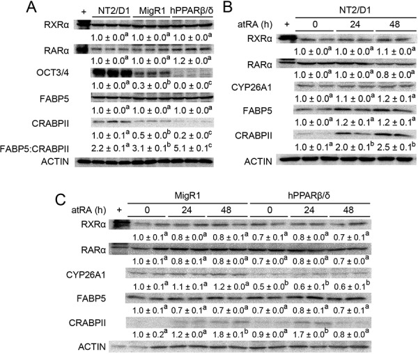 PPARβ/δ interferes with atRA-stimulated signaling in NT2/D1 cells A. Quantitative western blot analysis of RXRα, RARα, OCT3/4, FABP5 and CRABPII expression in NT2/D1, NT2/D1-MigR1 (MigR1) and NT2/D1-hPPARβ/δ (hPPARβ/δ) cells. B, C. Quantitative western blot analysis of RXRα, RARα, CYP26A1, FABP5 and CRABPII expression in NT2/D1, MigR1 and hPPARβ/δ cells in response to atRA treatment. Values represent mean ± S.E.M. Values with different superscript letters are significantly different at p ≤ 0.05.