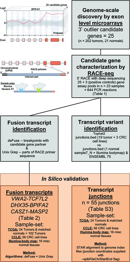 Pipeline to identify and characterize novel RNA variants in CRC Analysis of genome-scale exon level microarray data revealed 25 candidate genes with overexpression of their 3′ parts, here exemplified with the BPIFA2 gene. The candidate genes were characterized with RACE-seq, a combination of 5′ RACE and deep sequencing. For the 25 candidate genes and also 3 positive control genes, nested RACE-primers were designed downstream of the suspected breakpoints (orange arrows). The resulting pools of RACE fragments (28 assays per sample) were prepared for sequencing with the Nextera XT protocol (Illumina), using tagmentation to simultaneously fragment and tag RACE-amplicons with adapters for sequencing. The fusion transcripts VWA2-TCF7L2, DHX35-BPIFA2 and CASZ1-MASP2 , and also 55 transcript junctions were identified by two separate computational approaches from the RACE-seq data. These were probed for in external datasets from TCGA, CCLE and the Illumina body map.