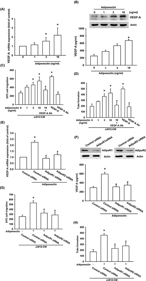 Adiponectin promotes VEGF-A expression in human chondrosarcoma cells through AdipoR1/R2 receptor A. B. The JJ012 cells were incubated with adiponectin (1–10 ng/ml) for 24 h, and VEGF-A expression was examined by qPCR, ELISA, and western blotting. C. D. The JJ012 cells were pre-treated for 30 min with VEGF-A antibody (5 μg/ml) followed by stimulation with adiponectin (10 ng/ml) or incubated with adiponectin (1–10 ng/ml) for 24 h. The medium was collected as CM and then applied to EPCs for 24 h. The cell migration and capillary-like structure formation in EPCs was examined by Transwell and tube formation assay. E. F. The JJ012 cells were transfected with AdipoR1 or AdipoR2 siRNA for 24 h followed by stimulation with adiponectin (10 ng/ml) for 24 h, and VEGF-A expression was examined by qPCR, ELISA and western blotting. G. H. In addition, the medium was collected as CM and then applied to EPCs for 24 h. The cell migration and capillary-like structure formation in EPCs was examined by Transwell and tube formation assay. Results are expressed as the mean ± S.E.M. *, p
