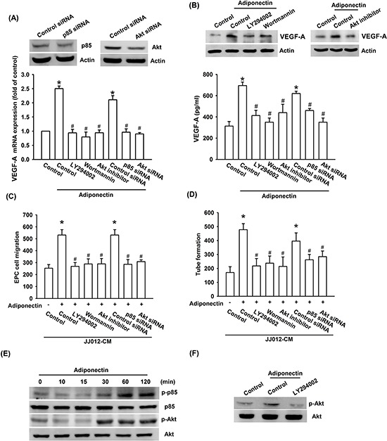 PI3K/Akt pathway is involved in adiponectin-increased VEGF-A expression A. B. Cells were pretreated with the ly294002 (10 μM), wortmannin (150 nM) and Akt inhibitor (10 μM) for 30 min or transfected with p85 and Akt siRNA for 24 h followed by stimulation with adiponectin (10 ng/ml) for 24 h, and VEGF-A expression was examined by qPCR, ELISA and western blotting. C. D. In addition, the medium was collected as CM and then applied to EPCs for 24 h. The capillary-like structures formation and cell migration in EPCs were examined by tube formation and Transwell assay. E. F. Cells were incubated with adiponectin (10 ng/ml) for the indicated times, or pretreated with the ly294002 for 30 min followed by stimulation with adiponectin for 60 min, and the Akt phosphorylation was determined by western blotting. Results are expressed as the mean ± S.E.M. *, p