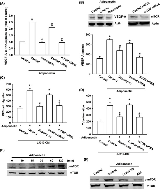 PI3K/Akt-dependent mTOR signaling pathway is activated in response to adiponectin treatment of human chondrosarcoma cells A. B. Cells were pretreated with the rapamycin (30 nM) for 30 min or transfected with mTOR siRNA for 24 h followed by stimulation with adiponectin (10 ng/ml) for 24 h, and VEGF-A expression was examined by qPCR, ELISA and western blotting. C. D. In addition, the medium was collected as CM and then applied to EPCs for 24 h. The capillary-like structures formation and cell migration in EPCs were examined by tube formation and Transwell assay. E. F. Cells were incubated with adiponectin (10 ng/ml) for the indicated times, or pretreated with the ly294002 and Akt inhibitor for 30 min followed by stimulation with adiponectin for 60 min, and the mTOR phosphorylation was determined by western blotting. Results are expressed as the mean ± S.E.M. *, p