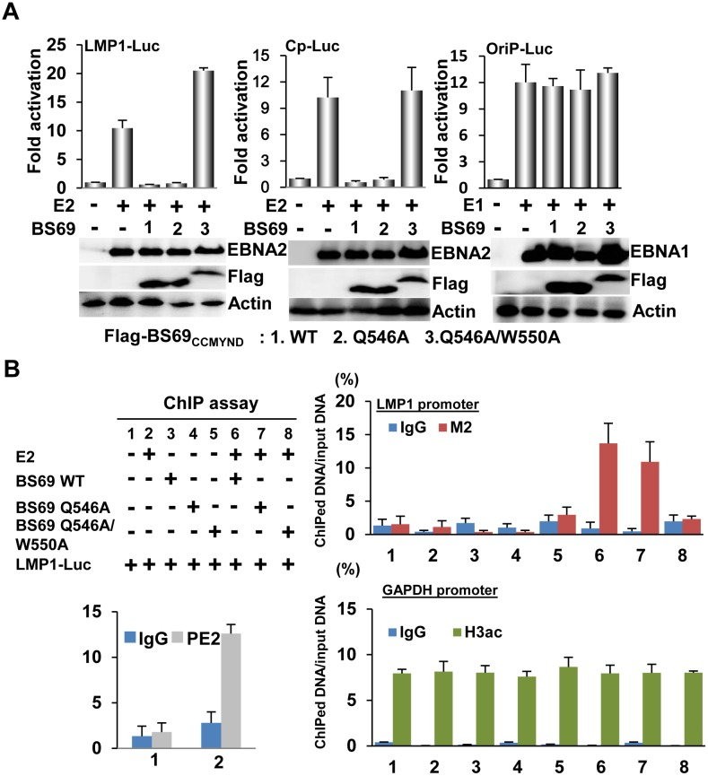 Recruitment of BS69 CC-MYND to EBNA2 target promoter through protein interactions leads to down regulation of EBNA2 dependent transcription. (A) EBNA2 specific reporter plasmids, LMP1-Luc and Cp-Luc, EBNA1 specific oriP-Luc reporter plasmid, CMV-βGal internal control, and the indicated expression plasmids were subjected to a procedure of transfection-mediated transcription reporter assay. The effects of flag-BS69 CC-MYND wild type, Q546A or Q546A/W550A on EBNA2-mediated transcription were determined by the resulting luciferase activity corrected for β-gal activity. (B) The experimental design of the transfection-mediated ChIP assay was shown. M2-conjugated sepharose was used to precipitate flag-BS69 CC-MYND wild type, Q546A, or Q546A/W550A while H3ac was used to precipitated acetylated-H3. PE2 (EBNA2) ChIP was used to assay EBNA2 enrichment at transfected LMP1 DNA. IgG was used as negative control. The amount of ChIPed DNA was quantified by real time PCR. The enrichment of BS69 CC-MYND wild type, Q546A, or Q546A/W550A at the LMP1 promoter and the enrichment of H3ac at GAPAH promoter were represented as % of input DNA, respectively.