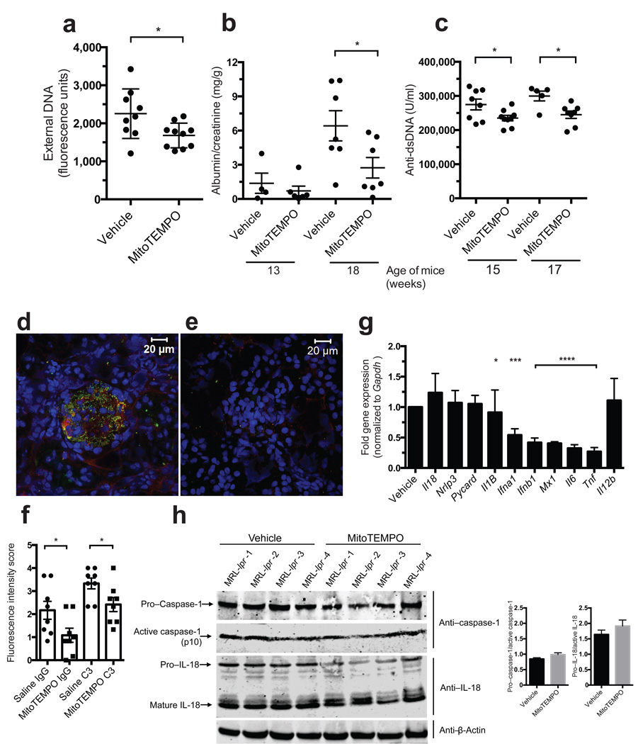 In vivo administration of a mito-ROS scavenger attenuates lupus-like disease in mice Effect of 7-week continuous, systemic administration of MitoTEMPO versus vehicle on the phenotype of female MRL/ lpr mice ( n = 10/ group). ( a ) Spontaneous NETosis in bone marrow neutrophils at euthanasia quantified by Sytox plate assay in triplicate. ( b ) Albumin: creatinine ratio at 13 and 17 weeks of age. ( c ) Anti-dsDNA levels quantified at 15 and 17 weeks of age. IgG (red) and complement C3 (green) deposition in glomeruli of ( d ) vehicle and ( e ) MitoTEMPO treated mice harvested at euthanasia. Nuclei were stained blue with Hoechst. ( f ) Fluorescence intensity scored in renal tissue sections from 8 vehicle- and 8 MitoTEMPO-treated mice. ( g ) Gene expression in MRL/ lpr splenocytes at euthanasia. Results represent mean ± SEM of 10 mice / group and bar graph results represent downregulation adjusted for results found in vehicle-treated mice (normalized to a value of 1). ( h ) Total and active caspase-1 and IL-18 in renal protein extracts; beta-actin is loading control. Each line depicts an individual mouse treated with either saline or MitoTEMPO as indicated in the figure. Bar graphs show densitometry data for caspase-1 and IL-18 activation ratios. For statistical analysis, unpaired t-test ( a, c, f ), Mann-Whitney ( g, f ); * P