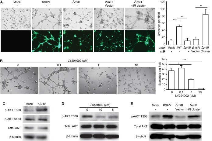 KSHV miRNAs mediate KSHV-induced angiogenesis by activating the AKT pathway. (A) The miRNA cluster was required for KSHV-induced angiogenesis. Capillary tube formation activity of uninfected MSCa (Mock), LTC-KMSCa, LTC-ΔmiRMSCa, and LTC-ΔmiRMSCa complemented with vector control or the miRNA cluster. Equal numbers of cells were seeded on top of the Matrigel. Images of tube formation were captured at 8 h postseeding (left panel). Magnification, ×100. The average number of branches per field of view ± SD at ×40 magnification was quantified (right panel). WT, wild type. (B) LY294002 inhibited capillary tube formation of LTC-KMSCa. LTC-KMSCa were incubated with different concentrations of LY294002, and tube formation was analyzed at 8 h postseeding. Representative images (left panel) and the average number of branches per field of view ± SD (right panel) are shown. (C) AKT phosphorylation at T308 but not S473 was enhanced in LTC-KMSCa (KSHV) compared to uninfected MSCa (Mock). (D) LY294002 suppressed AKT phosphorylation at T308 in LTC-KMSCa in a dose-dependent manner. (E) The miRNA cluster was required for AKT phosphorylation at T308. AKT phosphorylation was examined by Western blotting in uninfected MSCa (Mock), LTC-KMSCa (KSHV), or LTC-ΔmiRMSCa (ΔmiR) complemented with vector control (vector) or the miRNA cluster (miR cluster). *, P