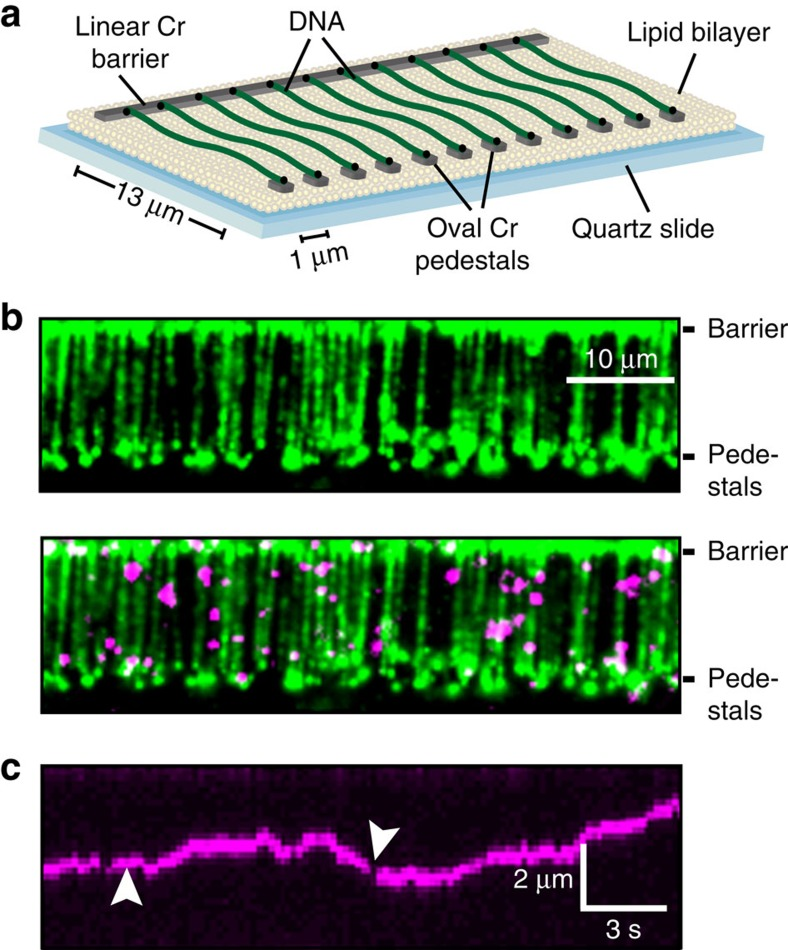 Visualizing protein diffusion on aligned arrays of DNA molecules. ( a ) An illustration of the DNA curtains assay ( Supplementary Information ). A quartz microscope slide is fabricated with an alternating pattern of linear chromium (Cr) diffusion barriers and oval pedestals (∼30 nm tall; 13 μm separation). The pedestals are coated with anti-digoxigenin antibodies. The flowcell surface is passivated with a fluid lipid bilayer (∼5 nm tall), and DNA (from λ-phage, 48,502 bp) is affixed to the bilayer via a biotin-streptavidin linkage. Buffer flow is used to organize DNA molecules at the linear diffusion barriers and the free DNA end is immobilized at the Cr pedestals via a digoxigenin–antibody interaction. DNA molecules that are tethered at both ends remain extended when buffer flow is turned off. ( b ) A double-tethered DNA curtain. DNA is stained with YOYO-1, a fluorescent intercalating dye (green; top). Quantum dot (QD)-conjugated Msh2–Msh3 binds specifically to the DNA molecules (magenta; bottom). We did not observe any QD signal when Msh2–Msh3 was omitted from the incubation, or when Msh2–Msh3 was incubated with an unconjugated QD. YOYO-1 was omitted from subsequent experiments because it can cause laser-induced DNA damage. Scale bar: 10 μm. ( c ) Kymograph of a single diffusing Msh2–Msh3 protein. QDs blinking (white arrows) indicates that these traces arise from single fluorescent particles.