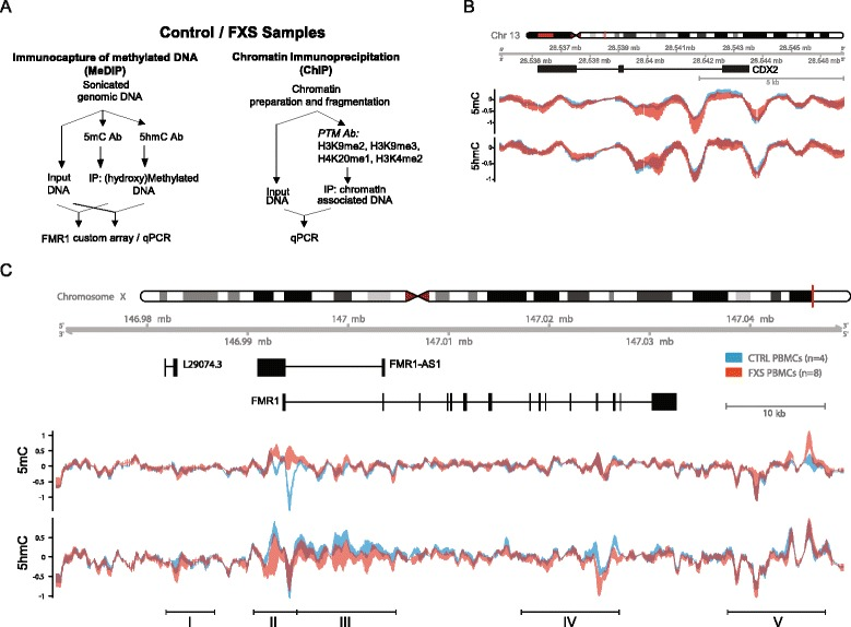 FMR1 locus (h)MeDIP profiling identifies novel regions of 5mC and 5hmC changes in FXS patient PBMC samples. a . Experimental overview. Methylated DNA immunoprecipitation (MeDIP) assay was used to profile DNA methylation (5mC), DNA hydroxymethylation (5hmC). Chromatin immunoprecipitation (ChIP) was used to profile histone post-translational modifications (PTM). Antibody (Ab) b – c . The graphs illustrate the relative enrichment of the indicated mark (log2 fold enrichment) in FXS ( red ) and control ( blue ) PBMCs. The upper panel illustrates the chromosomal and genomic location locations as well as the indicated referenced Refseq genes: FMR1 , and referenced antisense non coding RNAs ( FMR1AS1 and L29074.3). This snapshot illustrates the epigenetic landscape over a region covering 79 kb on ChrX: 146971000-147050000 ( c ). RPL19 and GAPDH provide controls regions of no changes in 5mC and 5hmC ( b ). In the graphs, the thicker lines indicate higher deviation between biological replicates (controls n = 4; FXS n = 8) (aggregation mean, sliding window 529 bp). Regions I to V were selected as regions of strongest apparent epigenetic variation across epigenetic marks and cell types based on epigenomic landscape visualization illustrated in Figs. 1 and 3 . The chromosome coordinates of these regions are provided in Table 1