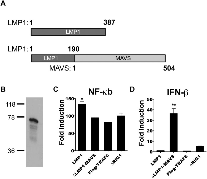 Construction and in vitro activity of ΔLMP1-MAVS. (A) Cloning strategy for vectors expressing full length LMP1 or ΔLMP1-MAVS fusion. (B) Western blot analysis of lysate from 293T cells transfected with ΔLMP1-MAVS plasmid. Luciferase activity assay was performed on 293T cells co-transfected with NF-κB (C) or IFN-β (D) luciferase reporter constructs and constructs expressing LMP1, ΔLMP1-MAVS, Flag-TRAF6, or ΔRIG-I. Fold induction was measured relative to empty vector pcDNA3.1. *p