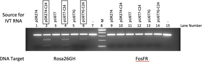 gRNA produced by in vitro transcription from the U6T7 hybrid promoter directs cleavage of target DNA. gRNA were produced by in vitro transcription from the T7 promoter in the pU6T7 or the pDR274 vectors. The gRNAs, in the presence of CAS9 protein (NEB), cleaves the ROSA26 target site in vitro . The DNA template provided to test for CRISPR activity is a PCR product obtained from amplification of the ROSA26 gene locus. As a control, the mouse Fos gene amplicon was used as a template. Expression vectors with gRNAs containing the ROSA26 target sequence are: pU6T7-C24, pU6T7G-C24, pDR274-C24. Expression vectors lacking the ROSA26 template sequence are: pU6T7, pU6T7G, pDR274. Lanes 7 and 15 are the PCR amplicons containing ROSA26 and Fos gene target sequences, respectively. M, DNA size marker (NEB). Boxed vectors identify the transcribed gRNAs that produced INDELs at the target site after incubation with CAS9 protein. Arrows indicate the T7 endonuclease assay products.