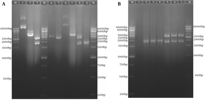 A, Sub-cloning Results of Optimized tPA sp -PADRE-Truncated ORF2 (aa 112 - 660) Gene Cassette In Pvax1 Eukaryotic Plasmid; Lane M, 1kb DNA marker; Lane 1, pBMH-tPA sp -PADRE-truncated ORF2 plasmid; Lane 2, digested pBMH-tPA sp -PADRE-truncated ORF2 plasmid by NheI restriction enzyme; Lane 3, digested pBMH-tPA sp -PADRE-truncated ORF2 plasmid by NheI and XhoI restriction enzymes and production of two expected fragments, a 2900-bp and a 1795-bp fragment; Lane 4, pVAX plasmid; Lane 5, digested pVAX plasmid by NheI and XhoI restriction enzymes and production of 2909-bp band; Lane 6, pVAX-tPA sp -PADRE-truncated ORF2 plasmid; Lane 7, digested pVAX-tPA sp -PADRE-truncated ORF2 plasmid by the NheI restriction enzyme; Lane 8, digested pVAX-tPA sp -PADRE-truncated ORF2 plasmid by NheI and XhoI restriction enzymes and production of two expected fragments, a 2909-bp and a 1795-bp fragment; Lane 9, 1876-bp band in colony PCR test with T7 and BHG universal primers; B, Restriction Enzyme analyses and colony polymerase chain reaction results of three colonies containing pVAX-tPA sp -PADRE-truncated ORF2 plasmid; Lane M, 1 kb DNA marker; Lane 1, negative control; Lanes 2 - 4, 1876-bp band in colony PCR test; Lanes 5 - 7, digested pVAX-tPA sp -PADRE-truncated ORF2 (aa 112 - 660) -linker plasmid by NheI and XhoI restriction enzymes and production of two expected fragments, a 2909-bp and a 1795-bp fragment