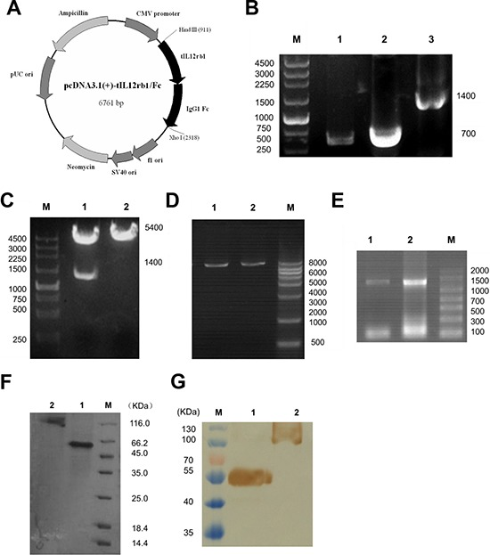 Construction, expression, and purification of tIL12rβ1/Fc A. Plasmid map of the eukaryotic expression plasmid containing human truncated IL-12rβ1 receptor (pcDNA3.1(+)-tIL12rβ1/Fc). The gene sequence encoding tIL12rβ1/Fc was inserted into pcDNA3.1(+) vector at the corresponding restriction sites Hind III and Xho I. B. PCR products of tIL12rβ1/Fc recombinant gene. Lane 1, tIL12rβ1/Fc gene sequence containing the signal peptide. Lane 2, IgG1 Fc fragment. Lane 3, recombinant tIL12rβ1/Fc fused gene product using overlap PCR. M, DNA molecular weight markers, bp. C. Correctly constructed plasmid was verified by digestion at the Hind III and Xho I sites. Lane 1, pcDNA3.1(+)-tIL12rβ1/Fc after digestion. Lane 2, pcDNA3.1(+) -tIL12rβ1/Fc before digestion. M, DNA molecular weight markers, bp. D. Plasmids were linearized for cell transfection using Pvu I. Lane 1 and 2, linearized pcDNA3.1(+)-tIL12rβ1/Fc. M, DNA molecular weight markers, bp. E. Total RNA of the two strains were identified by RT-PCR with primers F1 and F4. F. SDS-PAGE analysis of the purified tIL12rβ1/Fc fusion protein using Protein A column. Lane 1, purified tIL12rβ1/Fc fusion protein at reduced state. Lane 2, purified tIL12rβ1/Fc fusion protein at non-reduced state. M, protein molecular weight markers, KDa. G. Western blot analysis of tIL12rβ1/Fc using mAbs against human IL12rβ1. Lane 1, purified tIL12rβ1/Fc fusion protein at reduced state. Lane 2, purified tIL12rβ1/Fc fusion protein at non-reduced state. M, protein molecular weight markers, KDa.
