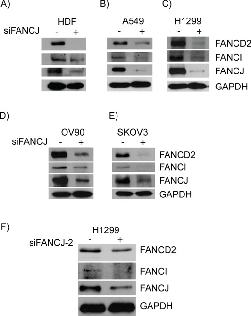 Down-regulation or loss of FANCJ concomitantly diminishes FANCD2 and FANCI proteins in multiple cell lines HDF A. , A549 B. , H1299 C. , OV90 D. and SKVO3 E. cells were transfected with control or FANCJ siRNAs. After 48 hours whole cell lysates were collected, normalized for total protein concentration, and assessed for the levels of FANCD2, FANCI, FANCJ, and GAPDH proteins by Western blotting. F. A second, previously validated, FANCJ siRNA (FANCJ-2) was used to verify that the effects were not the result of non-specific interactions of the original siRNA.