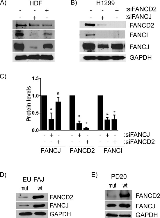 FANCJ regulates FANCD2 stability, but FANCD2 has little to no effect on FANCJ protein levels A. HDF or B. H1299 cells were transfected with siRNAs for either FANCJ or FANCD2 and the levels of FANCJ, FANCD2, and FANCI were measured by Western blot. C. The average values of FANCJ, FANCD2, and FANCI in cells treated with siRNAs for FANCJ or FANCD2, from at least three independent experiments, were normalized to the levels in H1299 cells treated with control siRNA. Bars represent standard error from multiple (3–4) independent experiments. * indicates the value is significantly altered from control ( P