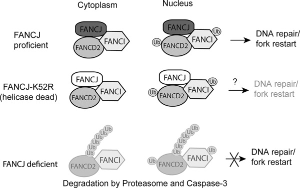 Proposed model for FANCJ stabilization of FANCD2 and FANCI FANCJ exists in a complex with both FANCD2 and FANCI in undamaged cells. This complex exists principally in the cytoplasm, but is also present in the nucleus. When there is DNA damage FANCD2 can be activated by the FA core complex and transmitted to the nucleus to participate in the formation of repair foci at the site of damage. When the K52R helicase-dead mutant, and potentially other FANCJ point mutations, is part of the complex it would protect FANCD2 but may still result in decreased DNA repair. For example, the K52R mutation has previously been shown to increase sensitivity to certain types of DNA damage, such as ionizing radiation [ 48 ], suggesting FANCJ helicase functions could be independent from stabilizing FANCD2/FANI proteins. When FANCJ is lost the unprotected FANCD2 and FANCI proteins are degraded by the ubiquitin proteasome and caspase-3.