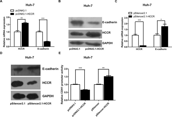 HCCR represses the expression of E-cadherin through its promoter A, B. Relative expression of HCCR and E-cadherin mRNA and protein in Huh-7 cells 48 h after transfection with pcDNA3.1-HCCR or a control vector. C, D. Relative expression of HCCR and E-cadherin mRNA and protein in Huh-7 cells 48 h after transfection with pSilencer-HCCR or a control vector. E. E-cadherin promoter activity in Huh-7 cells transfected with pGL3-E-cadherinP plus pcDNA3.1-HCCR/pcDNA3.1, or with pSilencer-HCCR/pSilencer. Relative expression of HCCR and E-cadherin mRNA was normalized to that of GAPDH. Assays were performed in triplicate. Data are expressed as the mean ± SEM. * P