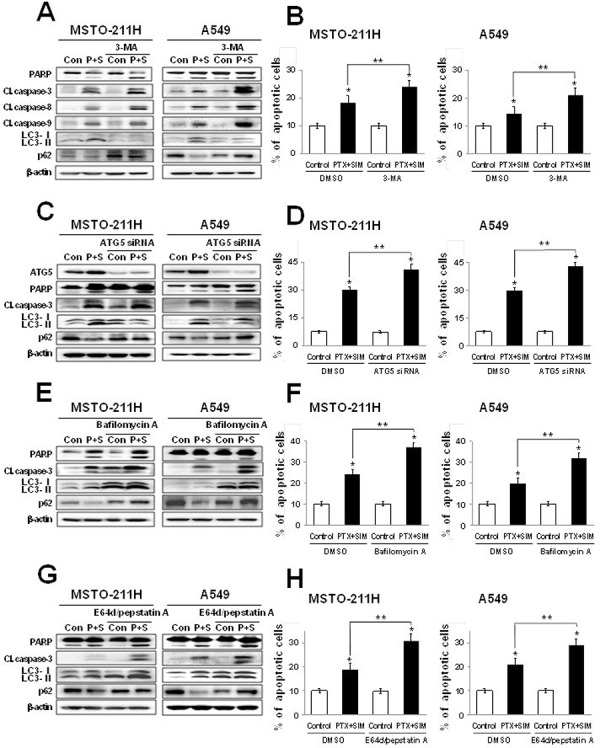 Inhibition of autophagy increases pemetrexed and simvastatin-induced apoptosis Cells were treated with 1 μM pemetrexed and 5 μM simvastatin in the absence or presence of the autophagy inhibitors 1 mM 3-MA A. ATG5 siRNA C. 50 nM bafilomycin A E. and 10 μM E64d/pepstatin A G. The cell lysates were subjected to 12% SDS-PAGE to measure the expression of indicated proteins. B, D, F. and H. Apoptosis was evaluated as described in Figure 2A . The data represent the mean ± SD of three independent experiments. * p