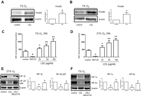 LDL induces HIF-1α hydroxylation at Pro402 and Pro564 sties, while increases 20S proteasome activity in hCMEC/D3 cells A–B. hCMEC/D3 cells were exposed to LDL (100 μg/ml) in hypoxia, after which Western blot analysis was performed to monitor hydroxylation of HIF-1α using antibodies specifically recognizing hydroxylated HIF-1α at Pro402 (A) and Pro564 (B) respectively. C–D. CT-L activity of 20S proteasome was analysed in hCMEC/D3 after exposed (24 hr) to the indicated concentrations of LDL in either hypoxia (C) or normoxia (D). Cells were treated with MG132 as control. E–F. hCMEC/D3 cells were exposed to 100 μg/ml LDL for 48 hr in the absence or presence of pre-treatment with 100 nM BSc2118 (4 hr prior to LDL) in normoxia (E) or hypoxia (F), after which Western blot analysis was performed to assess expression of NF-κB p65 and HIF-1β. At least three independent experiments ( n ≥ 3) were performed. * p