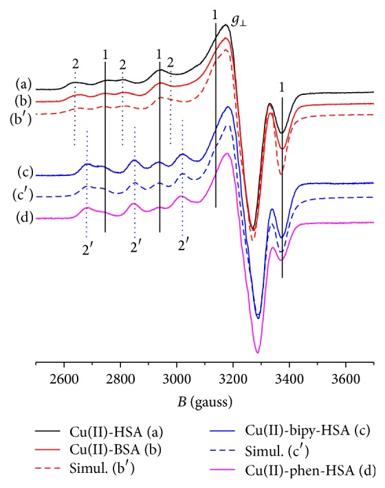 X-band EPR spectra for HSA and BSA Cu(II) complexes ((a) and (b), resp.) and for Cu(II)-bipy and Cu(II)-phen complexes with HSA ((c) and (d), resp.). Experimental conditions: Cu, HSA, and BSA 0.5 mM, phosphate buffer 20 mM, and pH 7.4, at 77 K. (b′) and (c′) are the simulated spectra of (b) and (c), using EasySpin [ 20 ] with parameters in Table 4 .