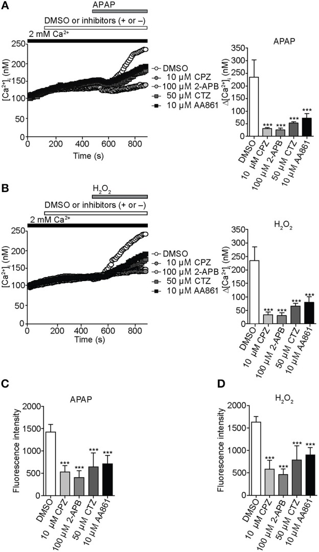 Inhibition of APAP- or H 2 O 2 -induced Ca 2+ entry and ROS production by selective TRP channel blockers in HepG2 cells . (A) Effects of selective blockers capsazepine (CPZ; 10 μM) for TRPV1, 2-APB (100 μM) for TRPC1, clotrimazole (CTZ; 50 μM) for TRPM2, or AA861 (10 μM) for TRPM7 on [Ca 2+ ] i rises evoked by APAP (20 mM). Average time courses (left) and Δ[Ca 2+ ] i (right) ( n = 18–57). (B) Effects of 10 μM CPZ, 100 μM 2-APB, 50 μM CTZ, and 10 μM AA861 on [Ca 2+ ] i rises evoked by H 2 O 2 (1 mM). Average time courses (left) and Δ[Ca 2+ ] i (right) ( n = 19–43). (C,D) Effects of selective blockers of TRP channels on ROS production evoked by APAP (20 mM) (C) or H 2 O 2 (1 mM) (D) . Blockers are applied for 3 h before and during APAP or H 2 O 2 stimulation. Data points are mean ± SEM. *** P