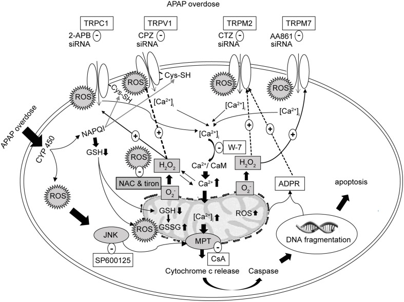 Schematic representation of the proposed signaling mechanism underlying cell death regulated by Ca 2+ entry via redox-sensitive TRPV1, TRPC1, TRPM2, and TRPM7 channels activated by APAP overdose in HepG2 . TRPV1 and TRPC1 channels are activated by oxidative modification of free sulfhydryl groups of cysteine residues, which APAP is able to reach to enhance activation. Initial Ca 2+ influx by APAP-induced ROS induces the mitochondrial and nuclear damages mediating the release of ADPR, which is released into the cytosol to activate TRPM2. ROS activates TRPM7. Suppression of TRPV1, TRPC1, TRPM2, and TRPM7 using blockers, siRNAs and ROS scavengers (NAC or tiron) alleviates APAP-induced Ca 2+ entry and HepG2 death. APAP, N-acetyl-para-aminophenol; [Ca 2+ ] i , calcium ions; HepG2, human hepatoma cell line; TRP, transient receptor potential channels; TRPV1, type 1 vanilloid receptor; TRPC1, type 1 canonical receptor; TRPM2, type 2 melastatin receptor; TRPM7, type 7 melastatin receptor; CaMs, calmodulins; CPZ, capsazepine (TRPV1 antagonist); 2-APB, 2-aminoethyl diphenylborinate (TRPC1 antagonist); CTZ, clotrimazole (TRPM2 antagonist); AA861, 2-(12-hydroxydodeca-5,10-diynyl)-3,5,6-trimethyl-p-benzoquinone (TRPM7 antagonist); CsA, cyclosporine A (inhibitor of mitochondrial permeability transition, MPT); H 2 O 2 , hydrogen peroxide; O 2 − , superoxide anion; ROS, reactive oxygen species; GSH, glutathione; ADPR, adenosine diphosphate ribose; JNK, c-jun NH2-terminal kinase; NAC, N-acetyl-L-cysteine.