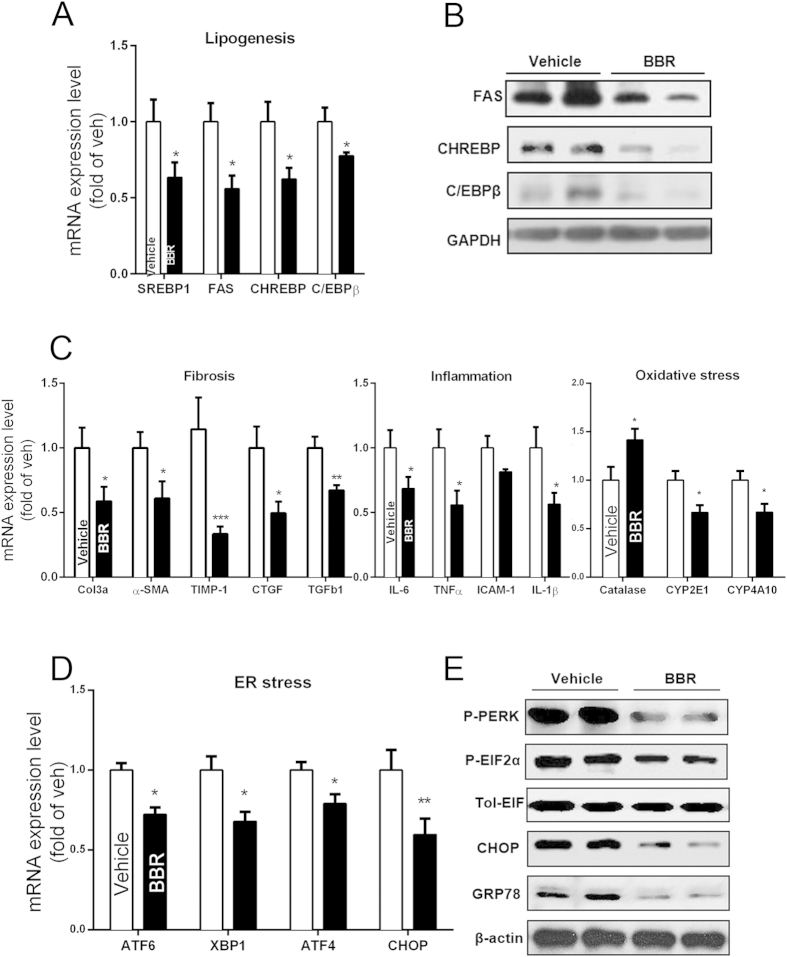 Molecular changes in liver tissue of db/db mice treated with or without BBR. ( A,B ) QPCR and Western blot analysis of liver tissue samples on mRNA ( A ) and protein ( B ) expression of lipogenesis-related genes. ( C ) Analysis of mRNA on hepatic fibrosis, inflammation and oxidative stress-related genes; β-actin was used as an internal control. ( D,E ) Liver mRNA ( D ) and protein ( E ) expression of ER stress-related genes. The data represent the mean ± SEM values. *P