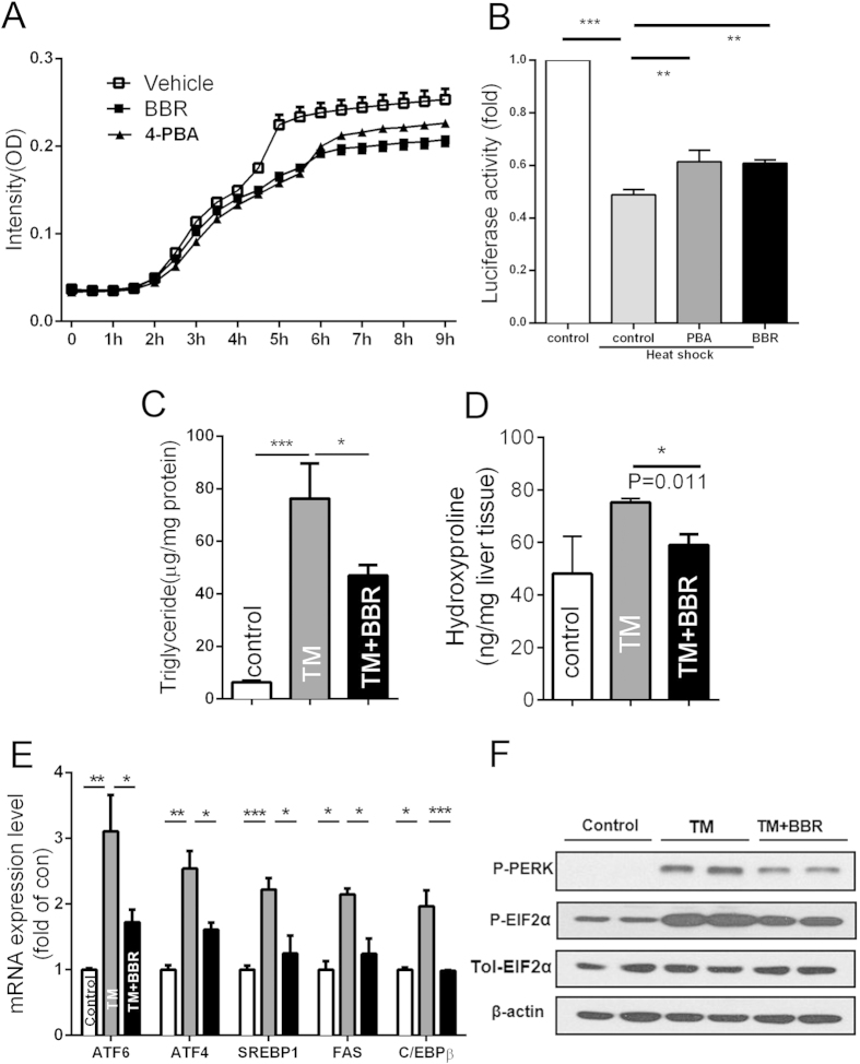 BBR could function as a chemical chaperone and block TM challenge-induced ER stress and NAFLD. ( A ) Chaperone activity of BBR. The rate of aggregation of reduced-α-lactalbumin (r-LA) was measured in the presence or absence of drugs. n = 6. ( B ) in vivo refolding assay was performed as described in the Methods section. ( C–F ) C57BL/6J mice were treated with vehicle and BBR for 3 days and then were administered IP TM. After 24 hours, the liver tissues were analysed. ( C ) TG levels were examined in liver tissues. ( D ) The hydroxyproline content was measured. ( E,F ) Liver mRNA ( E ) and protein ( F ) expression of ER stress and lipogenesis-related genes. β-actin was used as internal control. The data are presented as the mean ± SEM values, which represent three independent experiments in triplicate. *P