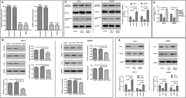 miR-1 inhibits the stemness of breast CSCs by targeting the Wnt/β-catenin signaling 293T cells were transfected with luciferase reporter plasmids containing the 3UTR sequences of the fizzled 4, 5, 7, or TNKS2 and miR-1 or control miR-1NC and the effect of miR-1 on luciferase activity was determined A. The luciferase activity in the control cells that had been transfected with miR-1NC were considered as 100%. CD44+CD24− CSC from MCF-7 and SKBR3 cells were sorted and transfected with, or without, miR-1NC, miR-1inhibitor, or miR-1mimic for 24 or 48 h. The relative levels of fizzled 7, TNKS2 and c-Myc to control GAPDH were determined by Western blot B. In addition, the relative levels of cytoplasmic and nuclear β-catenin to GAPDH or lumen B1 in each group of cells were determined by Western blot C. Moreover, MCF-7/CSC and SKBR3/CSC were transfected with miR-1mimic, miR-1NC or miR-1inhibitor for 24 h. The cells in each group were transfected with TopFlash and pRL-TK for 48 h. The relative levels of β-catenin-dependent firefly luciferase activity in different groups of CSCs were determined by the dual luciferase assay D. The relative levels of β-catenin-dependent luciferase activity in the control cells that had been transfected with miR-1NC, TopFlash and pRL-TK were designated as 1. Finally, the relative levels of Oct4 and Nanog expression in each group of cells were determined by Western blot E. Data are representative images and expressed as the mean ± SD of each group of cells from three separate experiments. * p
