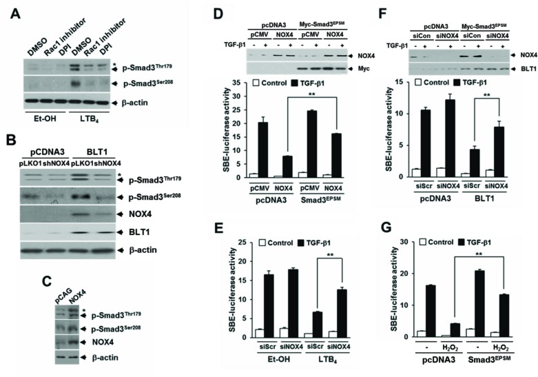 NOX is required for LTB 4 /BLT1-mediated induction of Smad3 linker region phosphorylation and inhibition of TGF-β1-stimulated SBE-Luc reporter activity A. MCF10A cells were pretreated with DMSO, 5 μM of Rac1 inhibitor, or 2.5 μM of DPI for 30 min, and then stimulated with EtOH (vehicle) or 100 nM of LTB 4 for 30 min. B. Stable HepG2-pcDNA3 and HepG2-BLT1 cell lines were infected with pLOK1 vector or shNOX4 lentiviruses. C. MCF10A cells were infected with mock or NOX4 lentiviruse. Whole cell extracts were analyzed by immunoblot with a specific antibody against NOX4, phospho-Smad3 (Thr179), and phospho-Smad3 (Ser208), respectively. β-actin levels were monitored as a control. Asterisk represents a phospho-Smad2 (Thr220). D. HepG2 cells co-transfected with SBE-luciferase reporter plasmid together with control (scrambled, Scr) or NOX4 siRNAs were treated with EtOH (vehicle) or 100 nM of LTB 4 for 30 min and then stimulated with 5 ng/ml of TGF-β1 for 24 h. Upper panel show the immunoblotting result of plasmid transfection. Lower panel show the measured luciferase activity. E. HepG2 cells were co-transfected with SBE-luciferase reporter plasmid and either pcDNA3 or BLT1 plasmid together with control (scrambled, Scr) or NOX4 siRNAs and then stimulated with 5 ng/ml of TGF-β1 for 24 h. F. HepG2 cells co-transfected with SBE-luciferase reporter plasmid and either pcDNA3 or Smad3 EPSM plasmid together with pCMV or NOX4 plasmid and then stimulated with 5 ng/ml of TGF-β1 for 24 h. Upper panel show the immunoblotting result of siRNA and plasmid transfection. Lower panel show the measured luciferase activity. G. HepG2 cells co-transfected with SBE-luciferase reporter plasmid together with pcDNA3 or Smad3 EPSM plasmid were incubated with or without 100 μM of H 2 O 2 for 30 min and then stimulated with 5 ng/ml of TGF-β1 for 24 h. Luciferase activities were normalized on the basis of β-galactosidase expression to adjust for variation in transfection efficiency. All quantitative data a