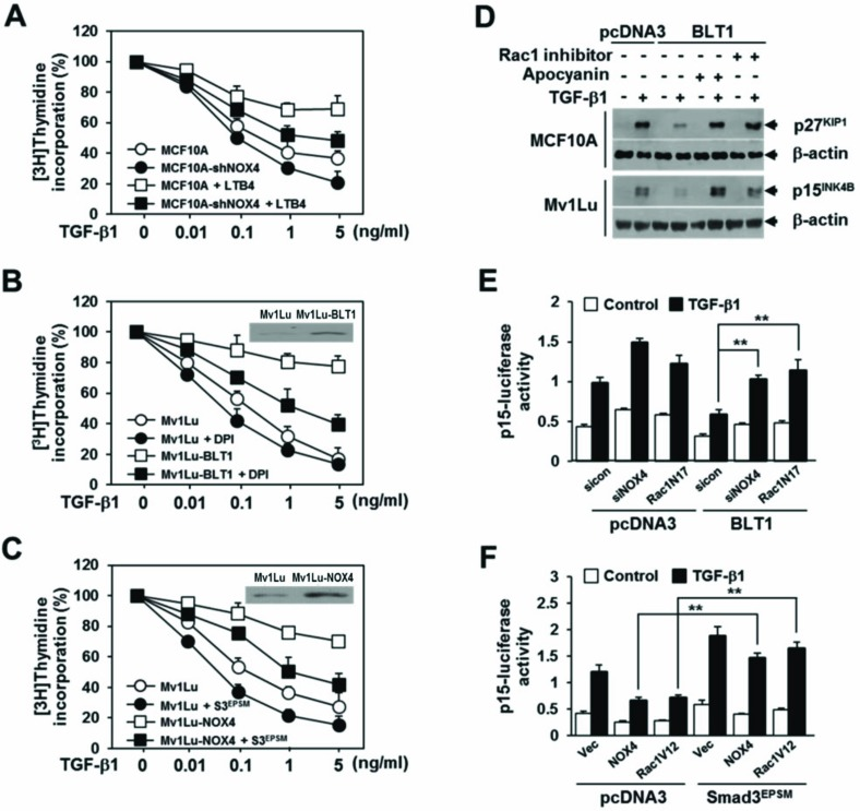 NOX is required for the suppression of TGF-β1-induced growth inhibition by LTB 4 /BLT1 axis A. MCF10A cells infected with mock or shNOX4 lentiviruses were incubated with Et-OH (vehicle) or 100 nM of LTB 4 for 30 min and then stimulated with TGF-β1 at the indicated concentrations for 24 h. B. Stable Mv1Lu-pcDNA3 and Mv1Lu-BLT1 cell lines were pretreated with DMSO or 2.5 μM of DPI for 30 min and then stimulated with TGF-β1 at the indicated concentrations for 24 h. Immunoblotting data in the panel show the expression of BLT1. C. Mv1Lu cells infected with mock, shNOX4, or both shNOX4 and Smad3 EPSM lentiviruses were stimulated with TGF-β1 at the indicated concentrations for 24 h. Immunoblotting data in the panel show the expression of NOX4. Effect of TGF-β1 on cell proliferation was examined using the [ 3 H]thymidine incorporation assay. Data are the average of triplicates of three independent experiments and are expressed as percentage of growth (thymidine incorporation relative to control experiment). D. MCF10A and Mv1Lu cell lines that stably express pcDNA3 or BLT1 were treated with DMSO, 5 μM of Rac1 inhibitor, or 20 μM of apocyanin for 30 min and then stimulated with 5 ng/ml of TGF-β1 for 24 h. Whole cell lysates were analyzed by immunoblot with a specific antibody against p27 KIP1 and p15 INK4B , respectively. β-actin levels were monitored as a control. E. HepG2 cells were cotransfected with p15 INK4B -luciferase reporter plasmid and either pcDNA3 or BLT1 plasmid together with control (scrambled, Scr) or NOX4 siRNAs, or Rac1N17 plasmid and then stimulated with 5 ng/ml of TGF-β1 for 24 h. F. HepG2 cells were cotransfected with p15 INK4B -luciferase reporter plasmid and either pcDNA3 or Smad3 EPSM plasmid together with pCMV, NOX4, or Rac1V12 plasmid and then stimulated with 5 ng/ml of TGF-β1 for 24 h. Luciferase activities were normalized on the basis of β-galactosidase expression to adjust for variation in transfection efficiency. All quantitative data are shown as