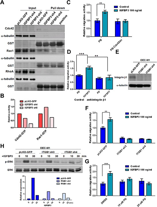 Silencing of integrin β1 inhibits IGFBP3-induced migration A. The activities of Cdc42, Rac1 and RhoA were detected in IGBBP3 knockdown cells (IGFBP3 sh4 and sh5) and the corresponding controls (pLKO-GFP). Equal amounts of input protein were subjected to Western blot using anti-Cdc42 (total Cdc42), anti-Rac1 (total Rac1), and anti-RhoA (total RhoA) antibodies. Equal amounts of protein were incubated with GST-PAK1 (detection of active Cdc42 or Rac1) and GST-Rhotekin (detection of active RhoA). Complexes were collected with gluthathione-Sepharose and resolved by Western blot. GTPγS was served as a positive control. Anti-GST antibodies were served as a loading control. B. The density of each band was measured by image J and normalized with the controls (LN1–1 pLKO-GFP). The activities of active small GTPase were conducted by dividing the density of active small GTPase to that of GST loading controls. The relative activities were obtained when the activity of active small GTPase in LN1–1 pLKO-GFP were set to 1. C. Representative data shows the relative migration activity of OEC-M1 cells with dominant-negative Cdc42 (Cdc42dn) and the corresponding controls (PB). The relative migration activity was defined by normalizing the mean of migrated cell /per field in OEC-M1 PB treated with treated with IGFBP3 and PB-Cdc42dn cells with/without IGFBP3 treatment with that in OEC-M1 PB cells. D. Representative data shows the relative migration activity of IGFBP3 expressing cells (OEC-M1 IGFBP3) and the corresponding controls (OEC-M1 PB) with anti-integrin β1 (200 ng/ml) treatment. The relative migration activity was defined by normalizing the mean of migrated cell /per field in OEC-M1 PB and IGFBP3 cells treated with anti-integrin β1 or OEC-M1 IGFBP3 cells treated with IgG antibodies (200 ng/ml) to that in OEC-M1 PB cells treated with IgG antibodies. E. Immunoblot analysis of integrin β1 protein in OEC-M1 cells with ITGB1 shRNA expression (OEC-M1 ITGB1 sh3 and sh4) and vector controls (OEC-M1 pLKO-GFP). α-tubulin serves as an internal control. F. Representative data shows the relative migration activity of OEC-M1 pLKO-GFP, ITGB1 sh3 and sh4 cells upon IGFBP3 (100 ng/ml) treatment. The relative migration activity was defined by normalizing the mean of migrated cell /per field in OEC-M1 with ITGB1 knockdown and IGFBP3 treatment with that in the control cells. G. Representative data showed the relative migration activity of OEC-M1 treated with 10, 20 uM of PD98059 (PD) and dimethyl sulfoxide (DMSO) upon IGFBP3 (100 ng/ml) treatment. The relative migration activity was defined by normalizing the mean of migrated cell/per field in OEC-M1 treated with PD98059 and IGFBP3 with that in the control cells. H. Immunoblot analysis revealed knockdown of ITGB1 inhibited IGFBP3-induced ERK phosphorylation at different time points in OEC-M1 cells (upper panel, 0, untreated; 10, 10 min; 30, 30 min for 100 ng/ml IGFBP3 treatment). The ratio of phosphorylated ERK/total ERK was obtained by dividing the intensity of phosphorylated ERK to that of total ERK. The relative expression was obtained when the ration of untreated cells were set to 1 (lower panel). Bar, SE; ** p