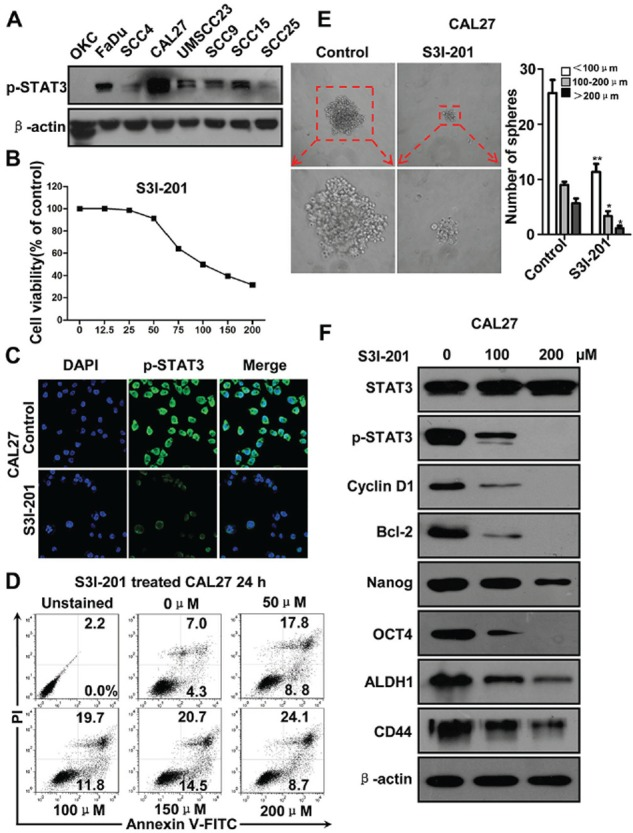 STAT3 inhibition by S3I-201 in HNSCC CAL27 cell line A. Western blotting of p-STAT3 Tyr705 of HNSCC cell lines as compared with oral keratinocyte cell line (OKC). B. Cell growth of CAL27 was measured using a CCK8 assay after with S3I-201 for 24 h in different concentrations. C. Immunoflurosece shows S3I-201 reduce nuclear expression of p-STAT3 Tyr705 by confocal microscope. D. Representative flow cytometry shows S3I-201 increase apoptosis cells in CAL27 cell line in a dose dependent manner. E. Sphere formation analysis shows S3I-201 decrease CAL27 tumor-sphere formation. Mean ± SEM *, P