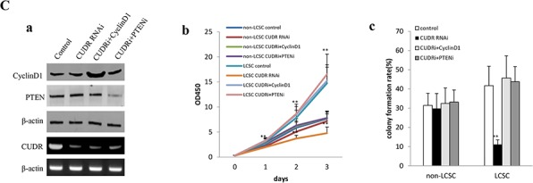 CUDR overexpression cooperated with cyclinD1 overexpression or PTEN depletion accerlates the liver cancer stem cell proliferation A. The growth and colony formation ability in the stable human liver cancer stem cell(HLCSC) lines and non-HLCSC transfected with pCMV6-A-GFP, pCMV6-A-GFP-CUDR, pCMV6-A-GFP-CUDR plus pcDNA3.1-CyclinD1, pCMV6-A-GFP-CUDR plus pGFP-V-RS-PTEN, respectively. a . RT-PCR analysis of CUDR mRNA and Western bloting with anti-cyclinD1, anti-PTEN expression in stable liver cancer stem cells transfected with pCMV6-A-GFP, pCMV6-A- GFP-CUDR, pCMV6-A-CUDR plus pcDNA3.1-CyclinD1, pCMV6-A- GFP-CUDR plus pGFP-V-RS-PTEN, respectively (indicated in the left ). β-actin as internalcontrol. b . Cell proliferation assay in vitro in liver cancer stem cells and unstemic liver cancer. Data are means of value from three independent experiment, bar ± SEM. ** P