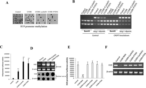 CUDR overexperssion cyclinD1 overexpression PTEN depletion synergistically enhances H19 expression on liver cancer stem cells A. H19 promoter methylation analysis by Methylated DNA Immunoprecipitation (MeDIP)-Dot blot-western blotting with anti-5-Methylcytosine (5-mC) in expression in stable liver cancer stem cells transfected with pCMV6-A-GFP, pCMV6-A- GFP-CUDR, pCMV6-A- GFP-CUDR plus pcDNA3.1-CyclinD1, pCMV6-A- GFP-CUDR plus pGFP-V-RS-PTEN, respectively (indicated in the upper ). B. H19 promoter methylation analysis by MspI plus BamHI digestion in CREPT knockdown or control stable liver cancer stem cells transfected with pCMV6-A-GFP, pCMV6-A-GFP-CUDR, pCMV6-A-GFP-CUDR plus pcDNA3.1- CyclinD1, pCMV6-A-GFP-CUDR plus pGFP-V-RS-PTEN, respectively PTEN, respectively (indicated in the upper and lower ). C. H19 promoter luciferase activity assay in in stable liver cancer stem cells transfected with pCMV6-A-GFP, pCMV6-A- GFP-CUDR, pCMV6-A-GFP-CUDR plus pcDNA3.1-CyclinD1, pCMV6-A- GFP-CUDR plus pGFP-V-RS PTEN, respectively. Each value was presented as mean ± standard error of the mean (SEM). ** P