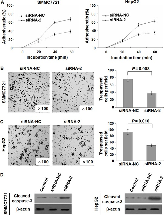 SPC24 inhibition affected HCC cell adhesion, invasion, and apoptosis SPC24 inhibition by siRNA-2 dramatically reduced cell adhesive ratio in both SMMC-7721 and HepG2 cells A. The invasiveness was evaluated by Matrigel assay in which scrambled siRNA served as a control and the cell number represented the mean values per field (from at least five fields) from 3 independent experiments (right panel) (mean ± SD), the data showed that the invasion of SMMC-7721 B. and HepG2 C. cells transfected with siRNA-2 was dramatically inhibited. Additionally, cleave d caspase-3 (active form of caspase-3) in SMMC7721 and HepG2 cells was increased by transfection with siRNA-2 confirmed by Western blot D.