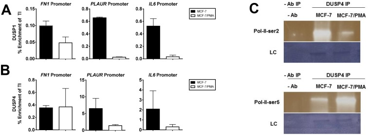 DUSP1 and DUSP4 directly tether to the promoters of mesenchymal genes. MCF-7 cells were incubated with either vehicle alone or with PMA for 60 h. ChIP was performed with DUSP1 and DUSP4 antibodies. ChIP DNA was analysed by SYBR Green real-time PCR. Enrichment across the promoter regions of FN1 , PLAUR , and IL6 are shown for: ( A ) DUSP1 and ( B ) DUSP4. Data are expressed as percentage enrichment relative to total input control and represent the mean ± SE of three independent experiments. ( C ) Nuclear extracts were obtained from MCF-7 cells stimulated as previously described and subjected to half-ChIP using DUSP4 pull down or a no antibody control. Immunoblots of the samples were probed with primary rabbit antibodies to RNA-Pol-II-serine2p or RNA-Pol-II-serine5p and detected as described in the methods. Representative images of the immunoblots are depicted along with the Novex loading control (LC).